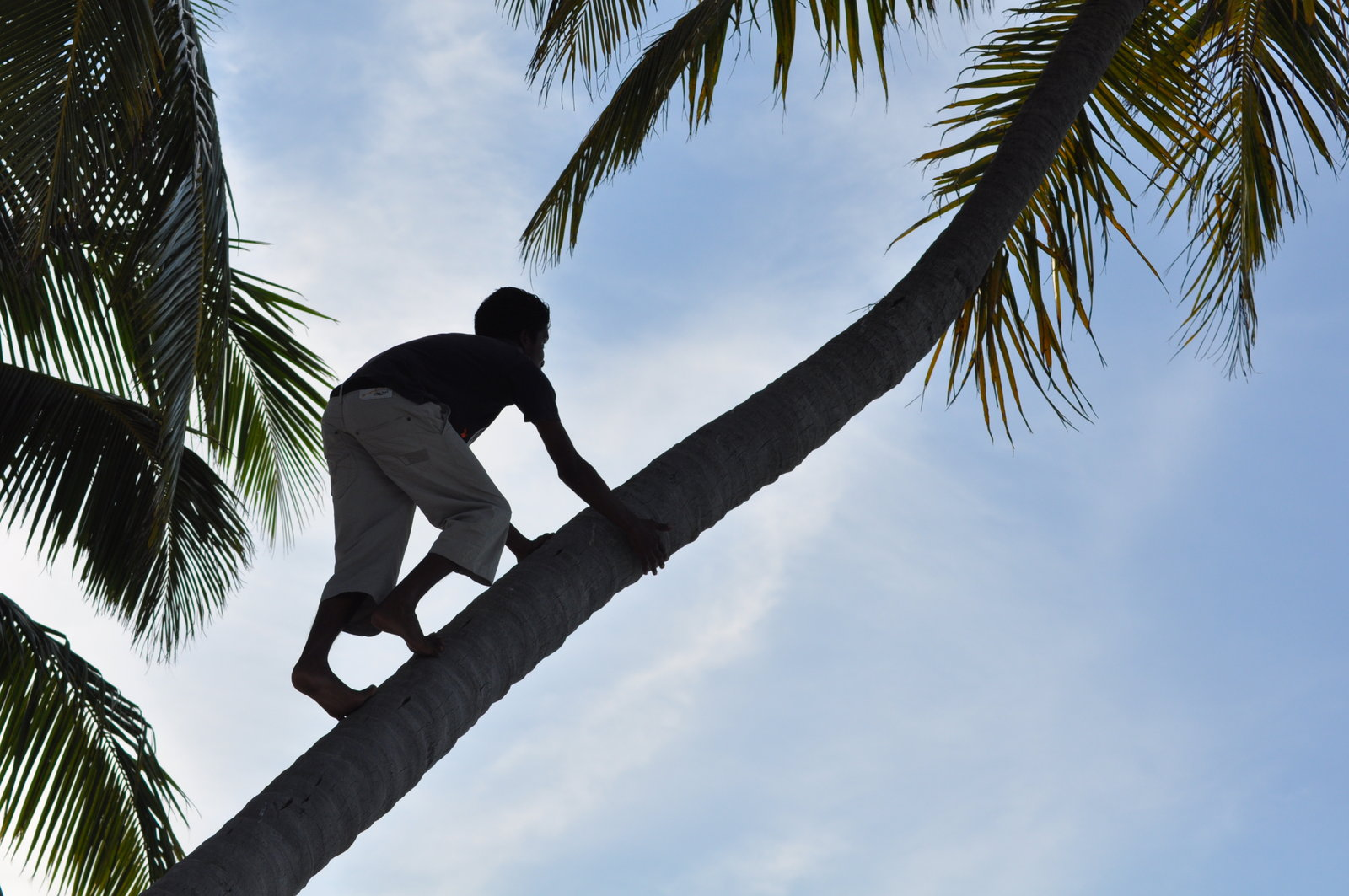 a man climbing upa a coconut tree