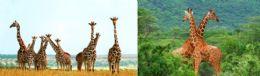 "100 Units of 3D Picture 9627--Giraffe Herd/Double Giraffe Approx size: 13.5""x9.75"" - Wall Decor"