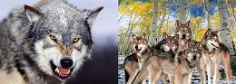 100 Units of 3D Picture Snarling Wolf Wolf Family - Home Decor