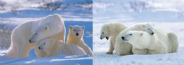 40 Units of 3D Picture Polar Bear Family - Home Decor