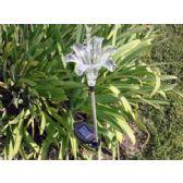 24 Units of Solar Light-Lily - Garden Decor