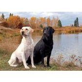 20 Units of 3D Picture 9600--Black & Yellow Labs - 3D Pictures