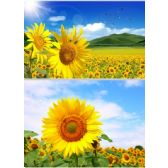20 Units of 3D Picture 9603--Sunflowers - 3D Pictures