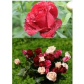 20 Units of 3D Picture 9604--Roses - 3D Pictures