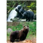 20 Units of 3D Picture 9612--3 Black Bears/Bear - 3D Pictures