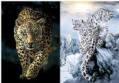 50 Units of 3D Picture 9716--Cheetah/Snowy Leopards