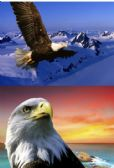 20 Units of 3D Picture 9609--Flying Eagle/Eagle Head - Wall Decor